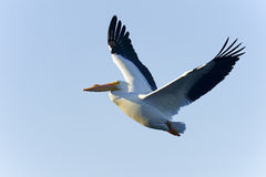 American white pelican, pelecanus erythrorhynchos Royalty Free Stock Images