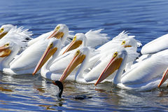 American white pelican, pelecanus erythrorhynchos Stock Photo