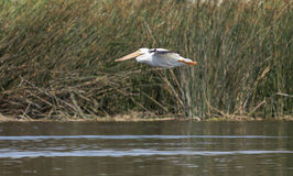 American white pelican Royalty Free Stock Photo