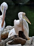 American white pelican Pelecanus erythrorhynchos. It breeds in interior North America, moving south and to the coasts. As far as Central America and South stock photos
