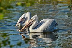 American white pelican Pelecanus erythrorhynchos. It breeds in interior North America, moving south and to the coasts. As far as Central America and South royalty free stock photography