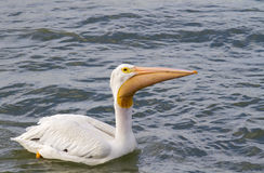 American white pelican (Pelecanus erythrorhynchos) with a catch in the sac. Royalty Free Stock Images