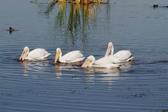 American White Pelican. (Pelecanus erythrorhynchos) fishing in the Florida Everglades Stock Images