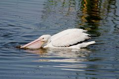 American White Pelican. (Pelecanus erythrorhynchos) fishing in the Florida Everglades Royalty Free Stock Images