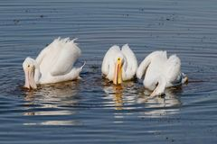American White Pelican. (Pelecanus erythrorhynchos) fishing in the Florida Everglades Stock Image