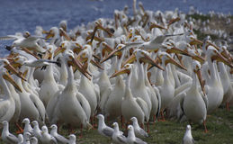 American White Pelican (Pelecanus erythrorhynchos) Flock Stock Photo