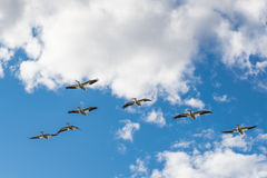 American White Pelican (Pelecanus erythrorhynchos) Royalty Free Stock Photo
