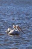 American white pelican, Pelecanus erythrorhynchos Stock Photo