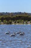 American white pelican, Pelecanus erythrorhynchos Royalty Free Stock Photo