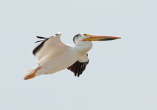 American White Pelican Stock Photography