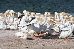 American White Pelican Pelecanus erythrorhynchos. A group of American White Pelican Pelecanus erythrorhynchos in Florida Royalty Free Stock Photography