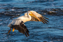 American White Pelican (Pelecanus erythrorhynchos) Stock Photos