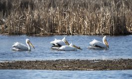 American White Pelicans at Exner Wildlife Preserve in Illinois. The American white pelican, Pelecanus erythrorhynchos, is a large aquatic water bird that breeds royalty free stock photos
