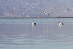American White Pelican (Pelecanus erythrorhynchos) Royalty Free Stock Images