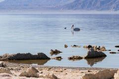 American White Pelican (Pelecanus erythrorhynchos) Royalty Free Stock Photography