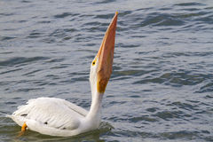 American white pelican (Pelecanus erythrorhynchos) swallowing a large catch. Royalty Free Stock Photography