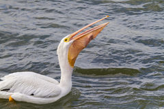American white pelican (Pelecanus erythrorhynchos) swallowing a large catch. Royalty Free Stock Photos