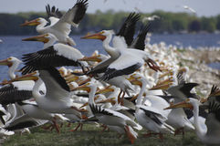 American White Pelican (Pelecanus erythrorhynchos) Takeoff Royalty Free Stock Photo