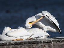 American White Pelican Royalty Free Stock Photos