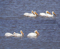 American White Pelican. (Pelicanus erythrorhynchos) group swimming in pond  Malheur National Wildlife Refuge, Oregon Royalty Free Stock Photo