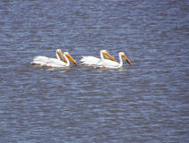 American White Pelican. (Pelicanus erythrorhynchos) group swimming in pond  Malheur National Wildlife Refuge, Oregon Royalty Free Stock Photography