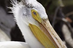 American White Pelican Portrait. The face of an American White Pelican posses, a larger  fish-eating waterbird Royalty Free Stock Photography