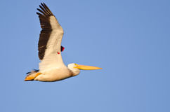 American White Pelican Showing Its Banding Tag Flying in a Blue Sky Royalty Free Stock Images