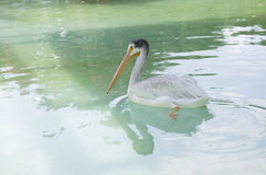 American White Pelican stock photos