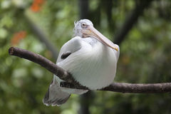 American White Pelican Stock Image