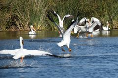American white pelican. A splashy collection of american white pelicans all landing on the water at once, feet down and wings out Stock Photo