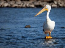 American White Pelican standing on a rock. In water in a bright sunny day Stock Photos