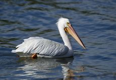 American White Pelican swimming in Lake Chapala. American White Pelican Pelecanus erythrorhynchos swimming in Lake Chapala, Ajijic, Jalisco, Mexico stock images