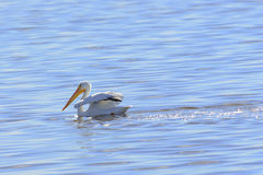 American White Pelican Royalty Free Stock Photography