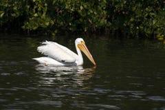 American White Pelican - Sanibel Island, Florida. An American white pelican swims as fishes on the waters of Ding Darling National Wildlife Refuge on Sanibel royalty free stock images