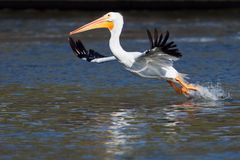 American White Pelican taking off. American White Pelican taking a flight during annual migration. Photo was taken in Iowa Midwest USA Stock Photo