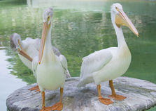 American White Pelican. Three American white pelicans on a platform near water Stock Photos