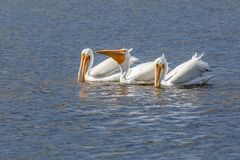 American White Pelican Trio - Sanibel Island, Florida. Three American white pelicans fish together on the waters of Ding Darling National Wildlife Refuge on stock images