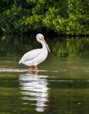 Wading White Pelican - Sanibel Island, Florida. An American white pelican wades in shallow water at Ding Darling National Wildlife Refuge on Sanibel Island royalty free stock photos