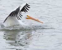 American white pelican on water. American white pelican making a splash Royalty Free Stock Photo