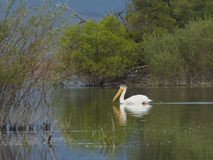 American white pelican in water. American white pelican swimming in water near Helena Montana Stock Photo