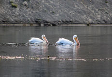 American White Pelican in Yellowstone National Park stock image