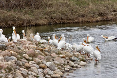 American White Pelicans. In Canada Royalty Free Stock Photos