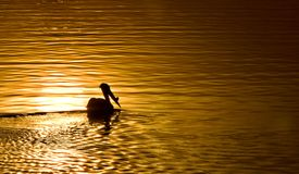 American White Pelicans. In Canada sunset gold Stock Images