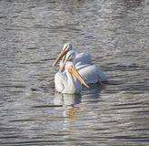 American White Pelicans. Fishing in Des Moines river, Iowa Stock Photos