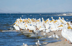 American White Pelicans, California, US Royalty Free Stock Image
