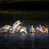 American White Pelicans Feeding 1 Stock Photography