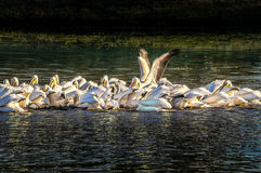 American White Pelicans Feeding 3 Royalty Free Stock Images