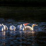 American White Pelicans Feeding 2 Stock Image