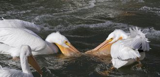 American White Pelicans. Fishing in Des Moines River, Iowa, USA Royalty Free Stock Images