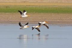 American White Pelicans in flight Stock Photos